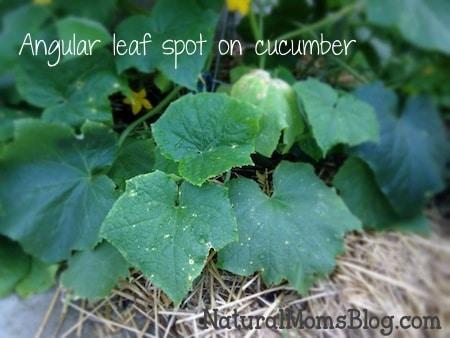 cucumber-angular-leaf-spot