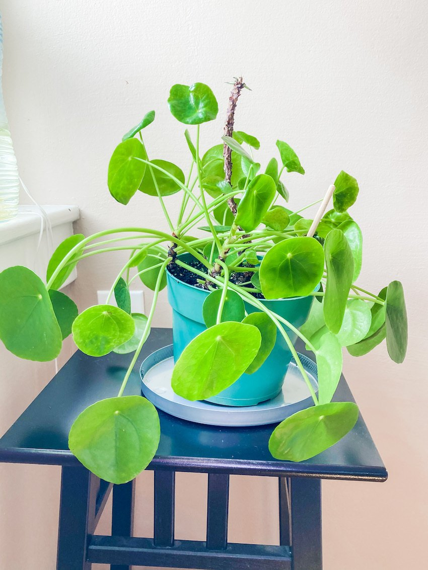 Pilea Peperomioides Friendship Plant