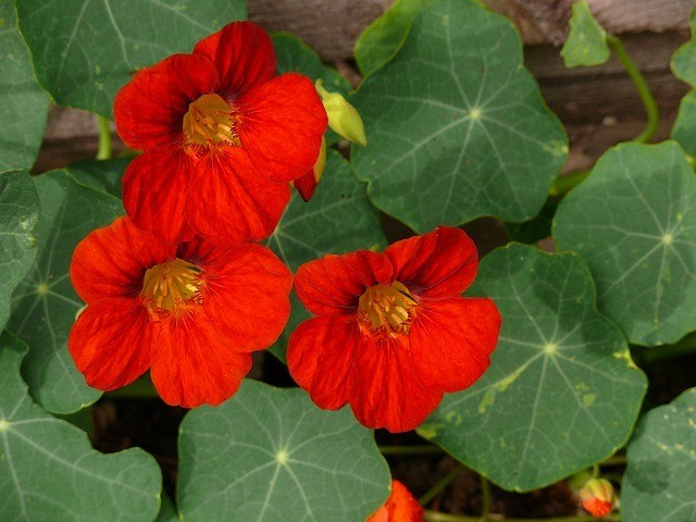 Grow nasturtium in the Tower Garden