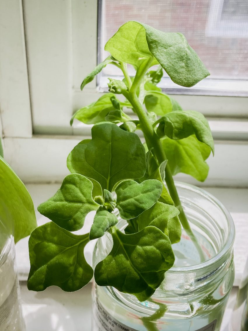New Zealand spinach Tower Garden