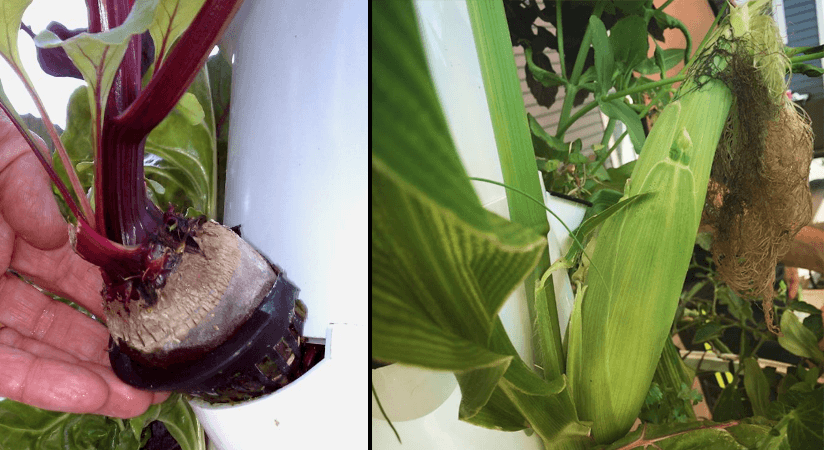 Root crops and corn in the Tower Garden