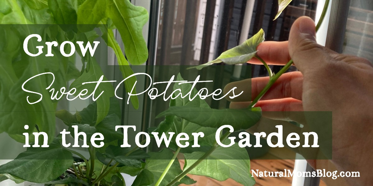 Grow sweet potatoes in the Tower Garden