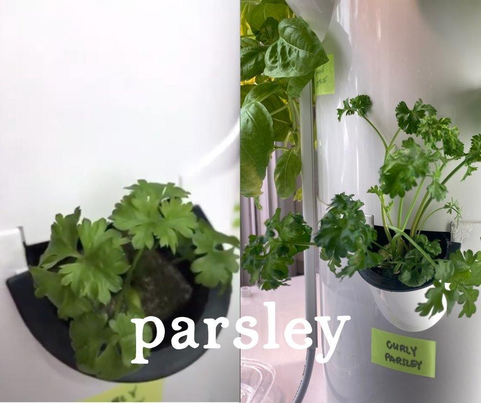 Tower Garden Parsley