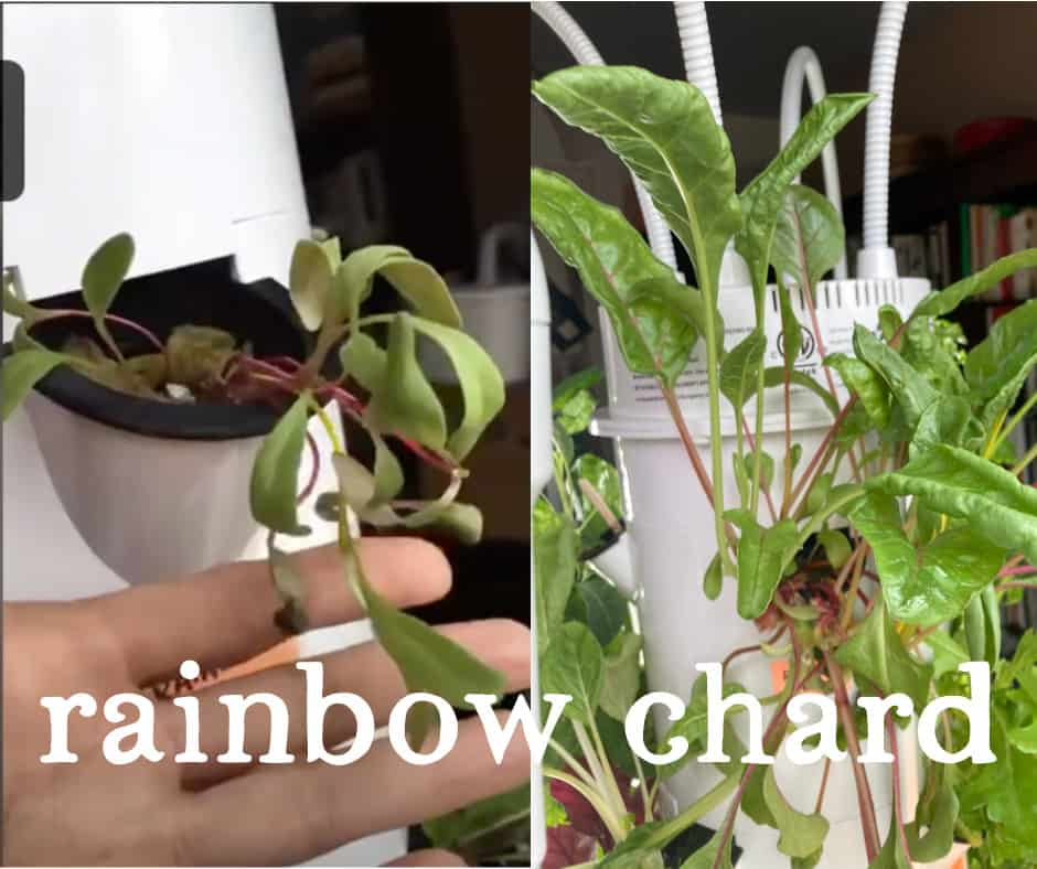 Tower Garden Rainbow Chard